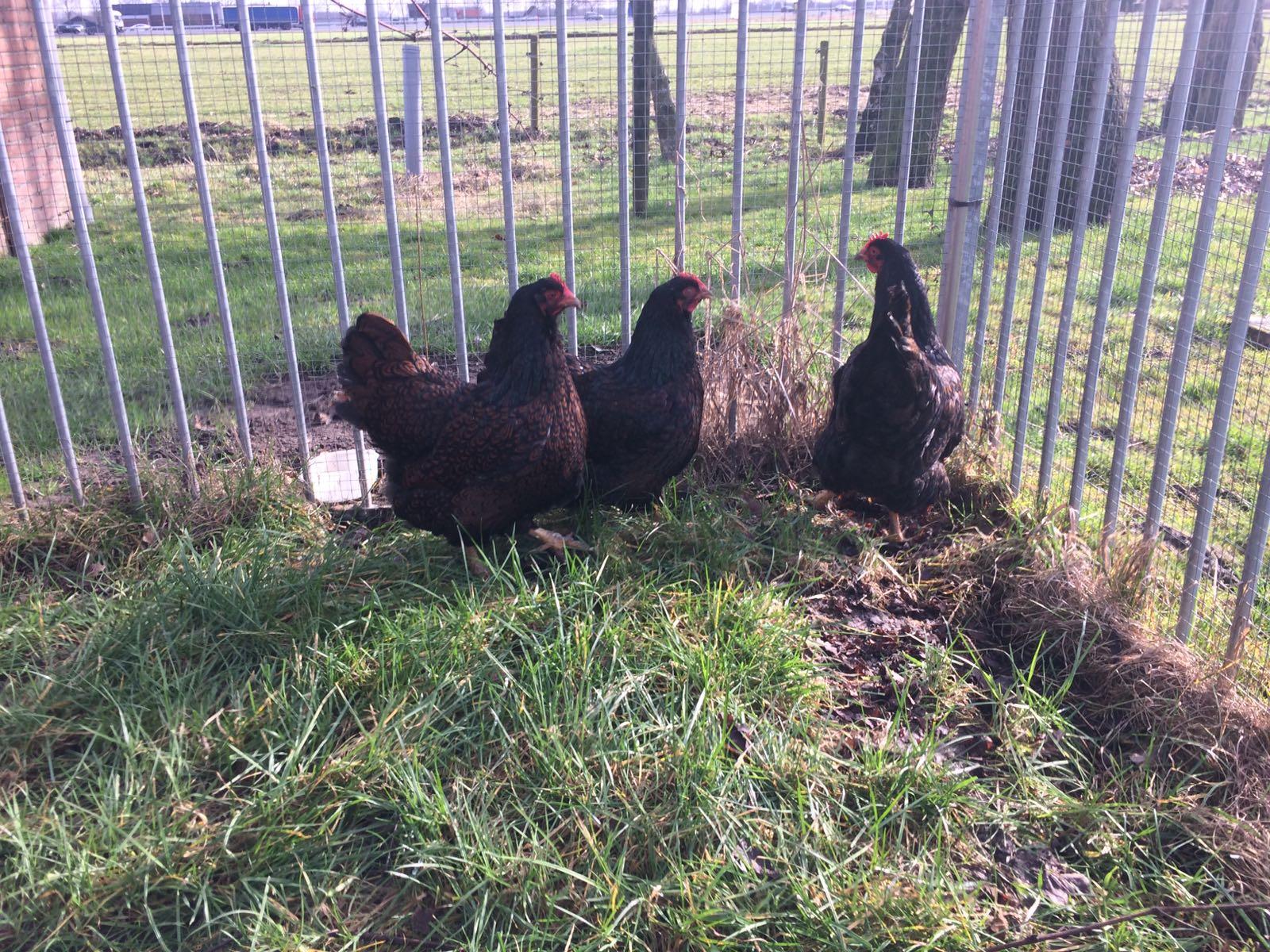 De Eerste Kippen Komen!